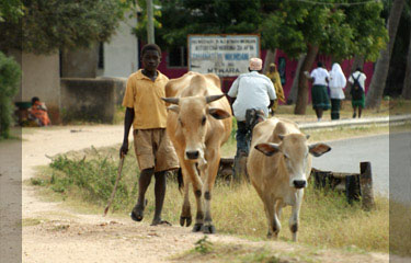 Walking the cows home in Mikindani